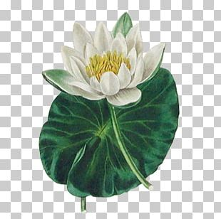 Botany Nelumbo Nucifera The Botanic Garden Flower Lotus Effect PNG