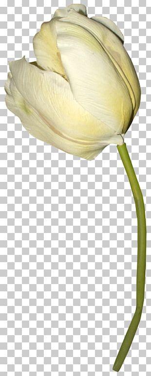 Tulip Petal Plant Stem Close-up PNG