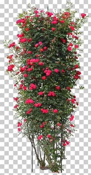 Quercus Suber Tree Plant Rose PNG