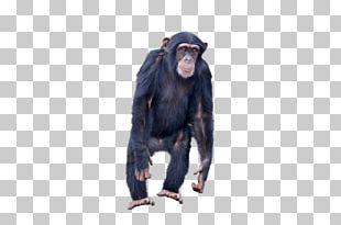 Common Chimpanzee Gorilla Monkey Ape Portable Network Graphics PNG