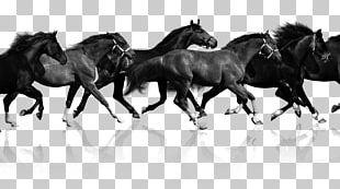 Haflinger American Miniature Horse American Paint Horse Stallion Pony PNG