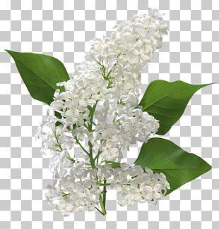 Cinnamyl Alcohol Cinnamyl-alcohol Dehydrogenase Cinnamic Acid Perfume Cinnamaldehyde PNG