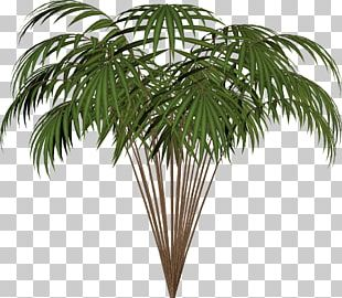 Arecaceae Asian Palmyra Palm Date Palm Houseplant Coconut PNG