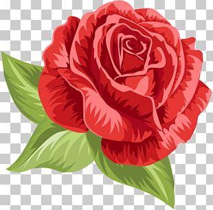 Garden Roses Centifolia Roses Floribunda Floral Design Cut Flowers PNG