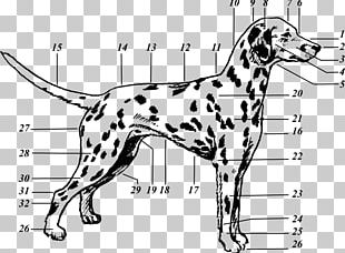 Dalmatian Dog Drawing Puppy The 101 Dalmatians Musical Canine Terminology PNG