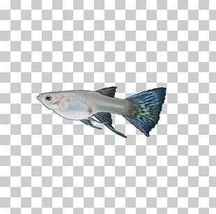 Guppy Tail Blue Fish Red PNG