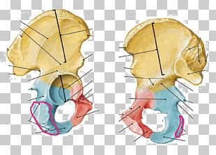 Human Anatomy Hip Bone Inferior Pubic Ramus Pubis Human Skeleton PNG