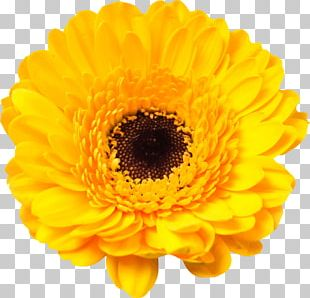 Transvaal Daisy Common Sunflower Stock Photography Yellow PNG
