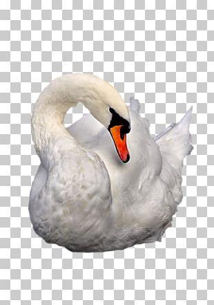 Cygnini Duck Beak Nature PNG