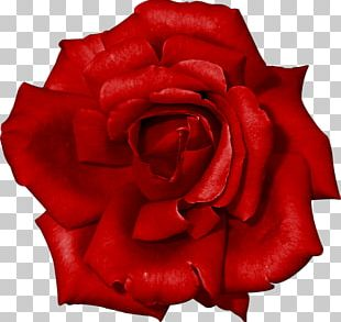 Garden Roses Red China Rose Flower PNG
