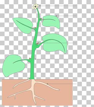 Plant Stem Organization Flower Sciences De La Vie Et De La Terre PNG