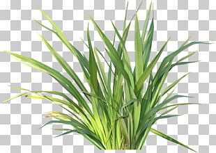 Herbaceous Plant Drawing Child Flower PNG