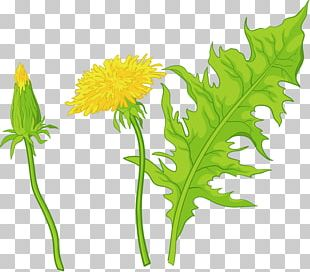 Common Dandelion Leaf Euclidean Flower Illustration PNG