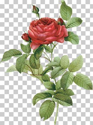 French Rose Botanical Illustration Botany Flower Drawing PNG