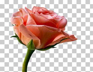 Garden Roses Cabbage Rose Floribunda Cut Flowers Sildenafil PNG