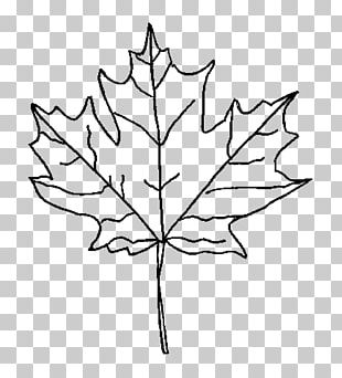 Maple Leaf Drawing Red Maple PNG