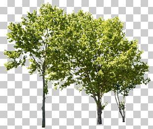 Tree Populus Nigra Birch American Sycamore PNG