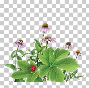 Herbal Tea Purple Coneflower Goldenseal PNG