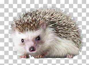 Domesticated Hedgehog Sea Urchin Sonic The Hedgehog PNG