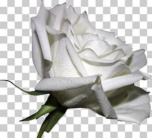 White Rose Flower PNG