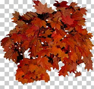 Autumn Leaf Color Autumn Leaf Color Tree PNG