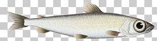 Milkfish Oily Fish Animal PNG