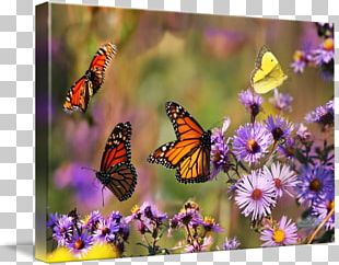 Monarch Butterfly Fine Art Photography PNG