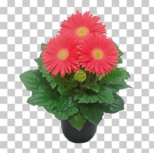 Transvaal Daisy Flowerpot Cut Flowers Floral Design PNG