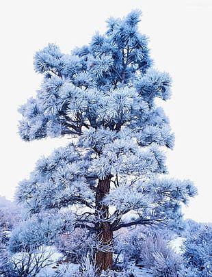 Snow Tree PNG
