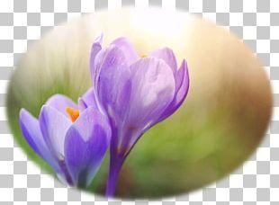 Crocus Flower Purple Spring Photography PNG