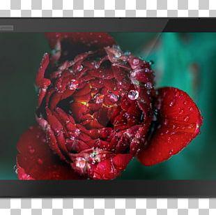 Flower Rose Desktop Petal PNG