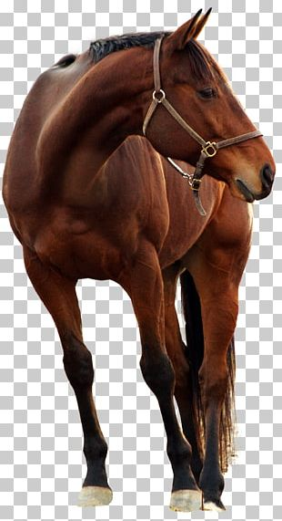 Andalusian Horse Photography Stock Horse PNG