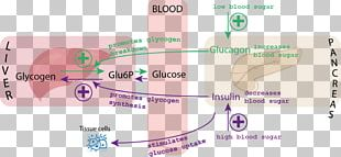 Blood Sugar Insulin Glucagon Glycemic Index PNG
