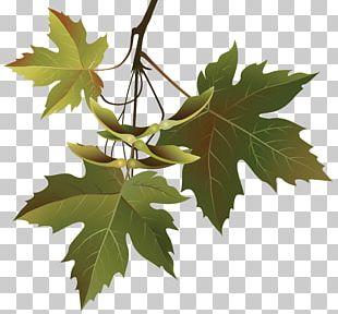 Autumn Leaf Color Branch Tree Maple Leaf PNG