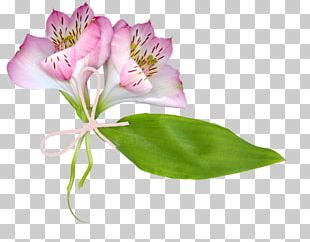 Lily Of The Incas Cut Flowers Plant Stem PNG