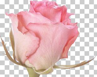 Rose Flower Pink Desktop PNG