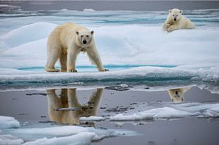 Polar Bear Arctic Ocean North Pole Global Warming Animal PNG