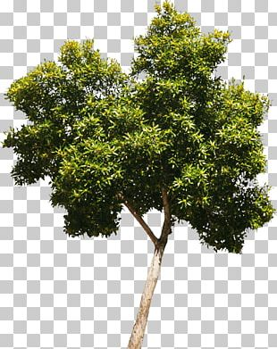 Tree Oak Woody Plant Crown PNG