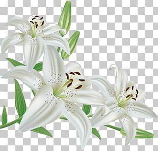 Madonna Lily Flower Lily 'Stargazer' PNG
