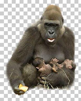 Gorilla Animal Ape Harambe Hug PNG