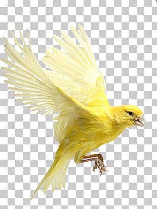 Bird Finches Beak Harz Roller Atlantic Canary PNG