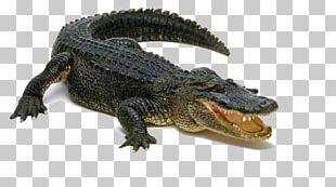 Alligator Display Resolution PNG