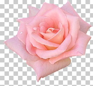 Garden Roses Flower Pink Black Rose PNG