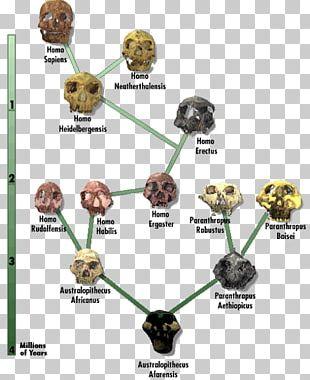 Neanderthal Human Evolution Diagram Chart PNG