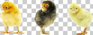 Rhode Island Red Plymouth Rock Chicken Baby Food Chicken Meat PNG