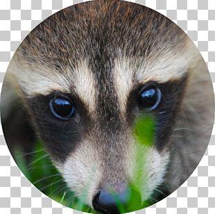 Norwegian Forest Cat Raccoon Squirrel Dog Kitten PNG