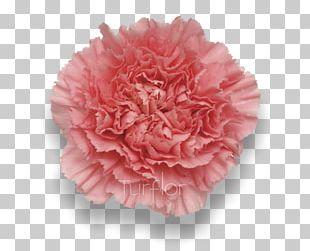 Pink Carnation Cut Flowers Rose Florists Supply Ltd. PNG