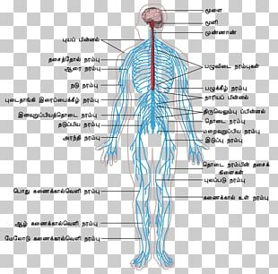 Peripheral Nervous System Central Nervous System Human Body Outline Of The Human Nervous System PNG