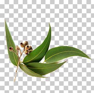 Eucalyptus Oil Eucalyptus Radiata Eucalyptus Globulus Essential Oil PNG