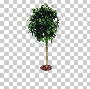 Branch Tree Cheesewood Flowerpot Houseplant PNG